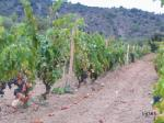 The DO Priorat, Montsant and Terra Alta advancing the harvest due to heat